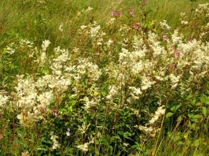 Meadowsweet in abundance