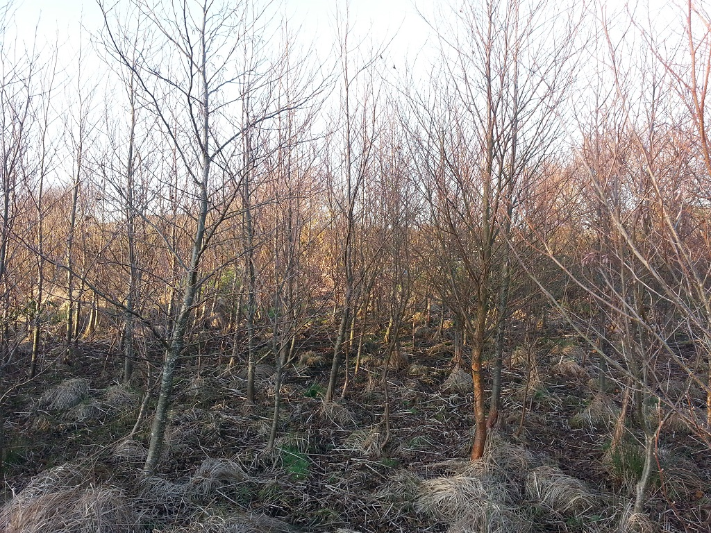 The Alder and Birch trees that we planted are now forming a young, dense wood...